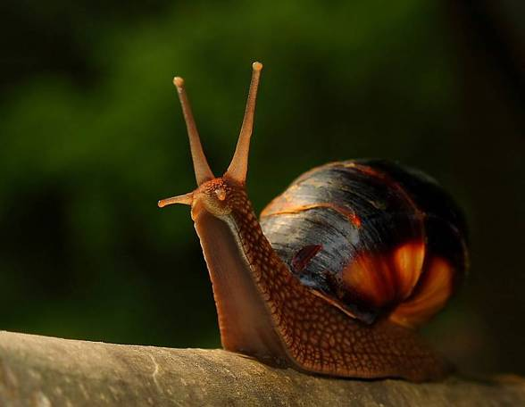 snail (Gastropoda).jpg