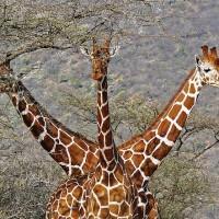 Giraffe (Giraffa camelopardalis).jpg