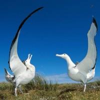 wandering albatross (Diomedea exulans).jpg