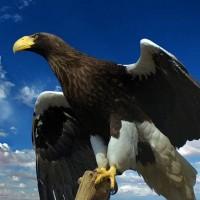 Steller's sea eagle (Haliaeetus pelagicus).jpg
