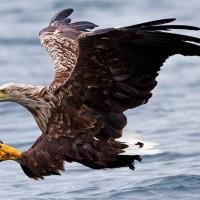 white-tailed eagle (Haliaeetus albicilla).jpg
