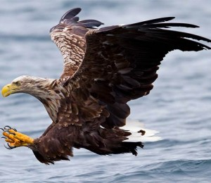 white-tailed eagle (Haliaeetus albicilla).jpg