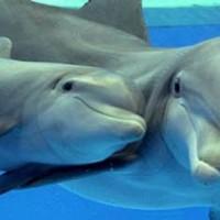 Common bottlenose dolphin (Tursiops truncatus).jpg