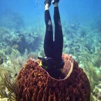 giant barrel sponge (Xestospongia muta).jpg