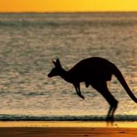 Red kangaroo (Macropus rufus).jpg