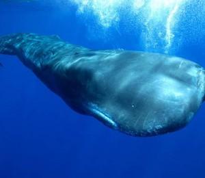 sperm whale (Physeter macrocephalus).jpg