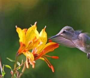 Bee Hummingbird (Mellisuga helenae).jpg