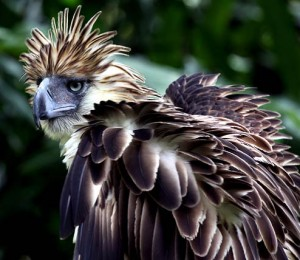 Philippine eagle (Pithecophaga jefferyi).jpg
