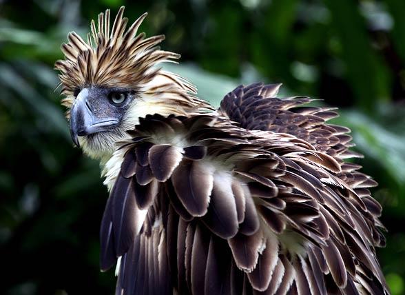 Philippine eagle (Pithecophaga jefferyi).jpg