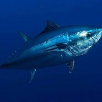 Atlantic bluefin tuna (Thunnus thynnus).jpg