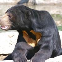 Sun bear (Helarctos malayanus).jpg