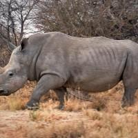 White rhinoceros (Ceratotherium simum).jpg