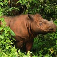 Sumatran rhinoceros (Dicerorhinus sumatrensis).jpg