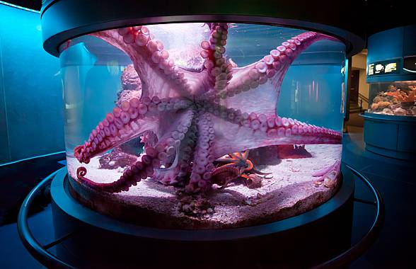 Octopus (Enteroctopus dofleini)