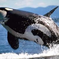 Killer whale (Orcinus orca).jpg