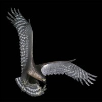 Haast's eagle  (Harpagornis moorei, Harpagornis assimilis, Hieraaetus moorei).jpg
