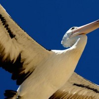 Pelican (Pelecanus).jpg