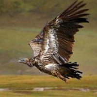 Old World vulture (Gypinae).jpg