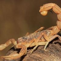 Scorpion (Scorpiones).jpg