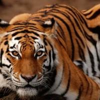 Siberian tiger (Panthera tigris altaica).jpg