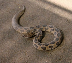 Russell's viper (Daboia russelii).jpg