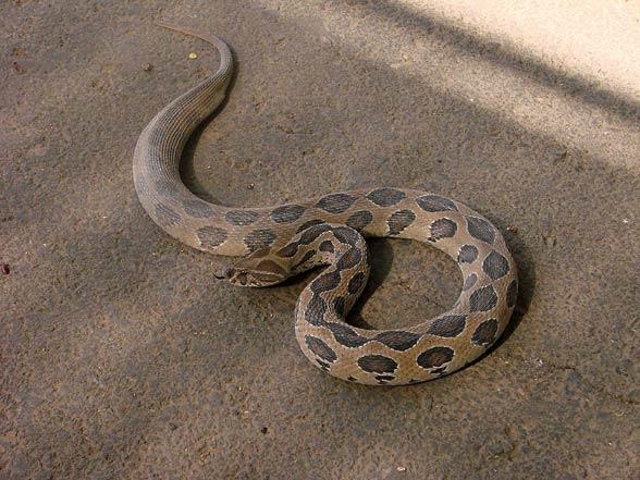 Russell's viper (Daboia russelii).jpg