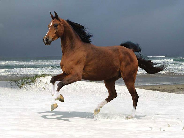 horse (Equus ferus caballus).jpg