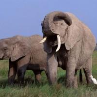 African bush elephant (Loxodonta africana).jpg