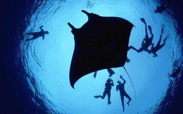 giant oceanic manta ray (Manta birostris).jpg