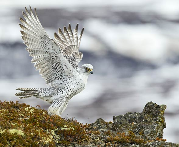 gyrfalcon, gerfalcon (Falco rusticolus).jpg
